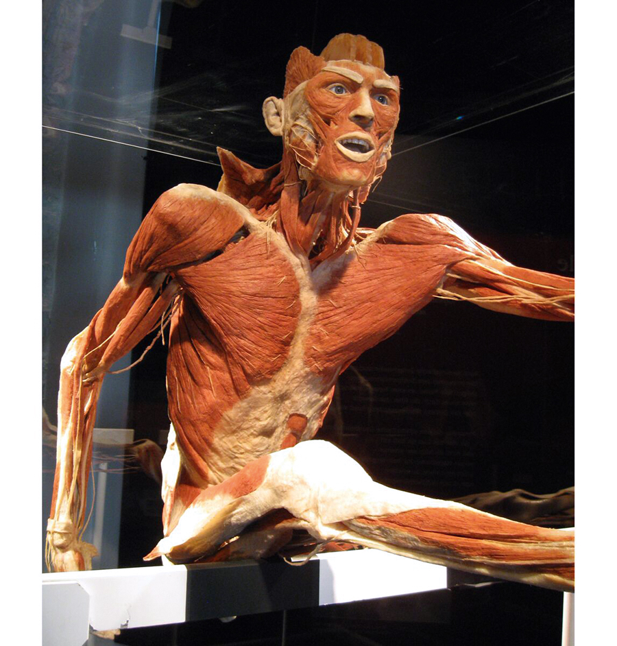 Exhibition impression with the plastinate The Hurdler. Copyright: Gunther von Hagens' BODY WORLDS, Institute for Plastination, Heidelberg, Germany, www.bodyworlds.com
