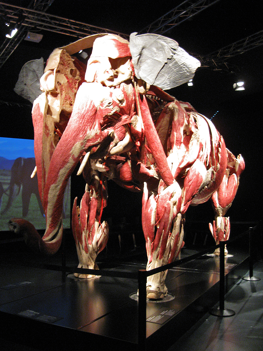 The Elephant. Copyright: Gunther von Hagens' BODY WORLDS, Institute for Plastination, Heidelberg, Germany, www.bodyworlds.com